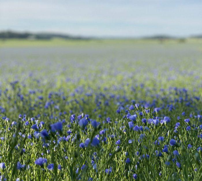 Flax: Linum usitatissimum Mydło z oleju lnianego